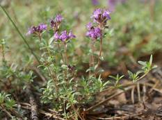 A purple flower on a Thymus serpyllum plant