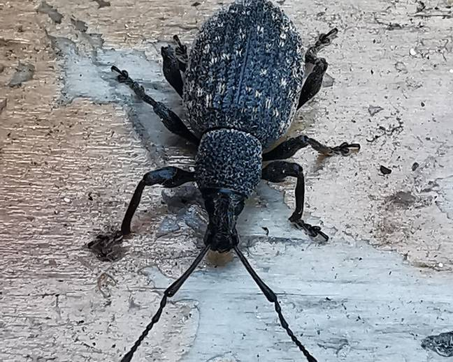 A close up of a black adult vine weevil Otiorhynchus sulcatus
