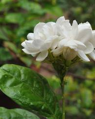 A photo of Arabian Jasmine