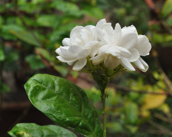 A picture of a Arabian Jasmine