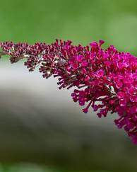 A photo of Butterfly Bush 'Buzz Magenta'