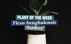 Plant of the week: Ficus benghalensis 'Audrey'