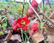 A photo of Flowering Quince
