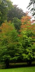 A photo of Katsura Tree