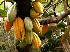 A group of Theobroma cacao fruit hanging from a tree