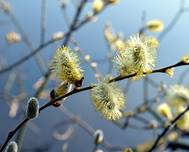 A photo of Goat Willow