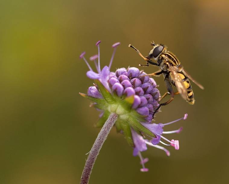 A hoverfly on a purple flower