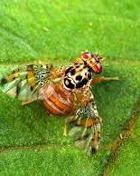 A photo of Mediterranean Fruit Fly