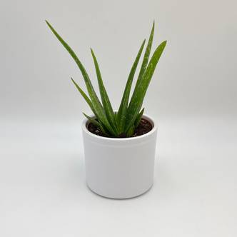 Aloe Vera, Potted Plant, Easy Care