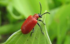A photo of Red Lily Beetle