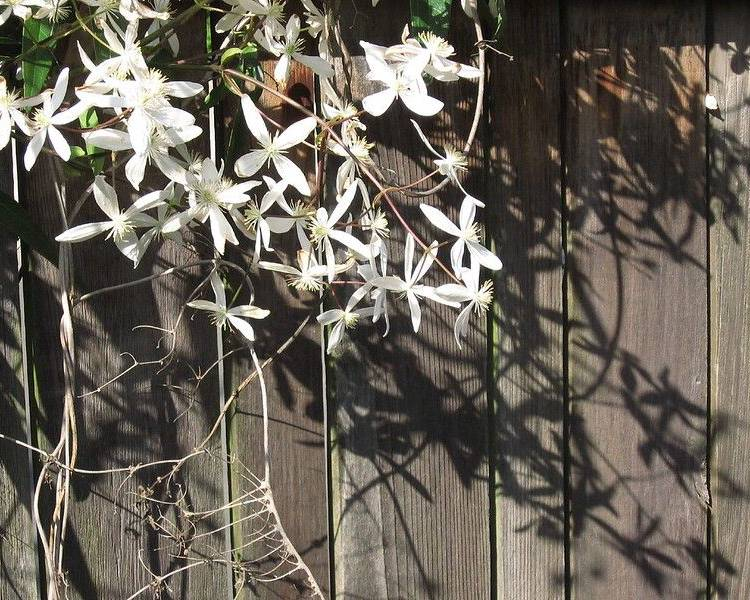 Evergreen Clematis trailing up a fence
