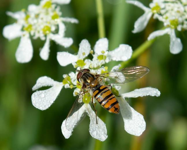 A close up shot of a Marmalade Hoverfly Episyrphus balteatus perched on a flower