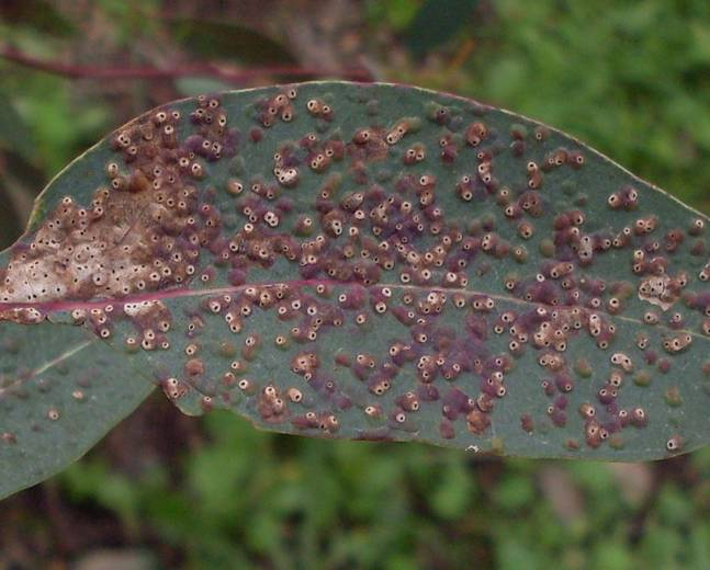 A close up of a tree leaf infested with Ophelimus Eucalyptus gall wasp