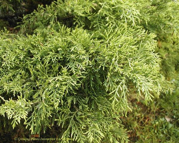 A picture of a Arborvitae