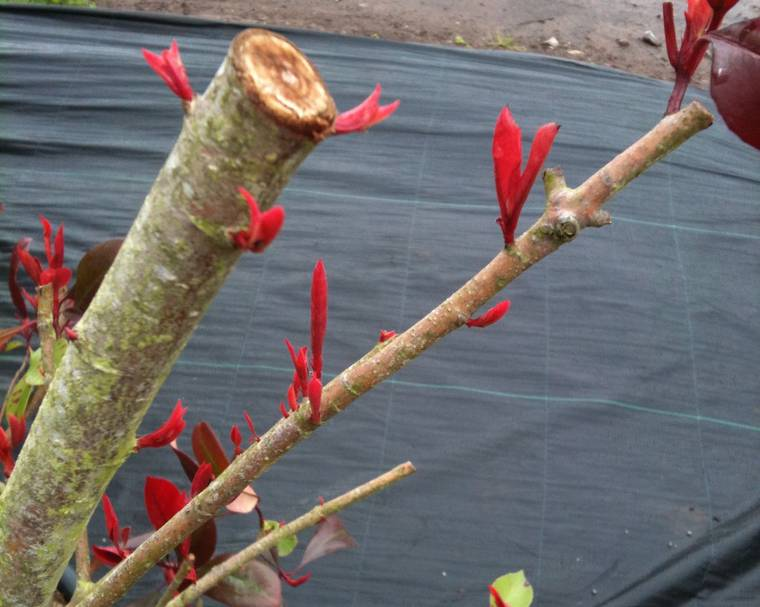 New growth on Photinia after pruning
