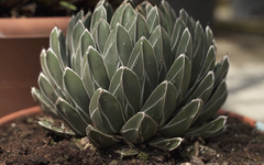 Plant of the week: Agave victoriae-reginae