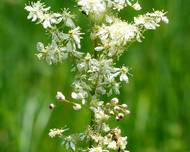A photo of Dropwort