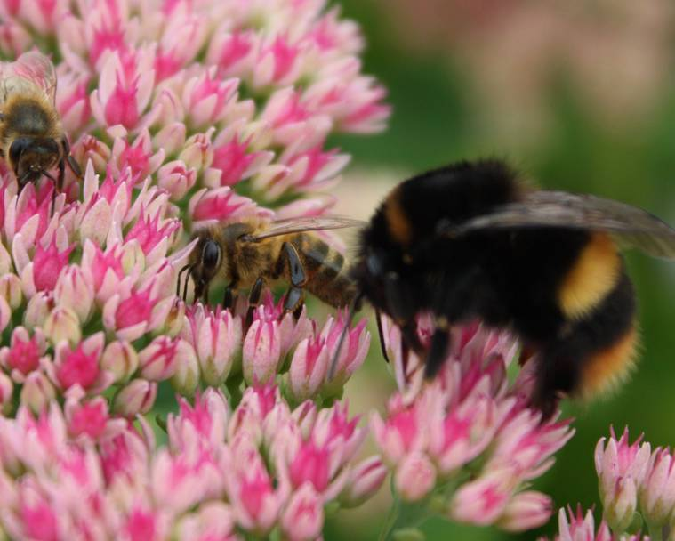 Bees on a pink flower on a plant