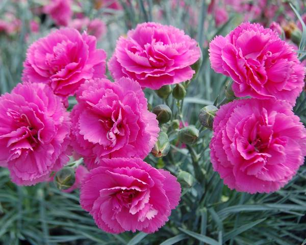A picture of a Dianthus 'Garden Pinks'