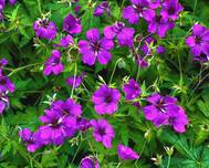 A photo of Bloody Cranesbill