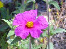 A close up of a bright pink Cistus crispus flower