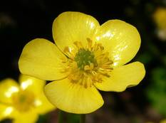A close up of a yellow Ranunculus flower