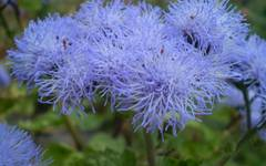 A photo of Floss Flower 'Blue Mink'