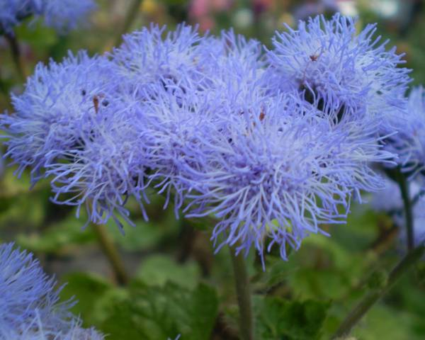 A picture of a Floss Flower 'Blue Mink'