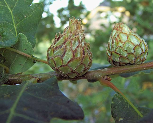A photo of a gall produced by a gall wasp larvae