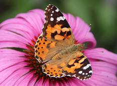 A close up of a Painted Lady Vanessa cardui on a flower