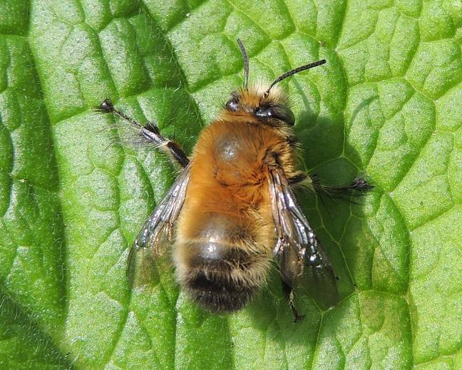 A close up of a male Anthophora plumipes on a leaf