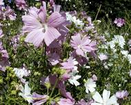 A photo of Musk Mallow