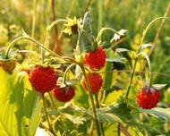 A photo of Wild Strawberry 'Tiobelle'