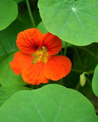 A photo of Nasturtium