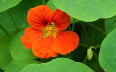 A photo of Garden Nasturtium