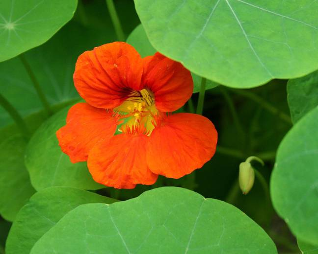 A close up of a green Tropaeolum majus plant with a red flower