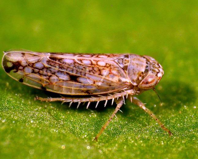 A leafhopper in the family Cicadellidae on a green leaf