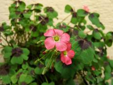 A pink flower on an Oxalis plant