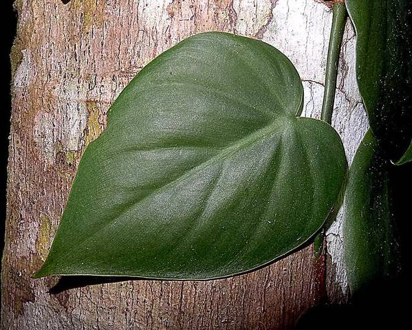 A picture of a Heart-Leaf Philodendron