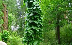 A photo of Dutchman's Pipe