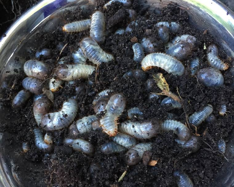 A bowl of chafer grubs