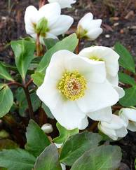A photo of Christmas Rose