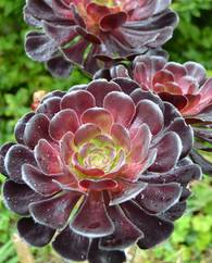 A photo of Aeonium 'Zwartkop'