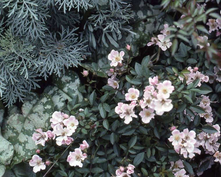 Rose, Artemisia and Pulmonaria plants
