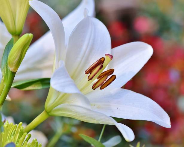 A big white flower, Lilly, summer bulbs to plant now