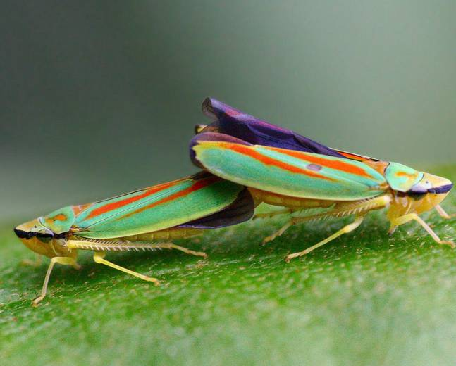 Two mating Graphocephala fennahi rhododendron leafhoppers on a leaf