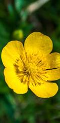 A photo of Marsh Marigold