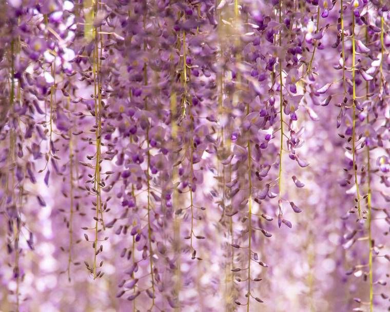 A curtain of purple Wisteria flowers