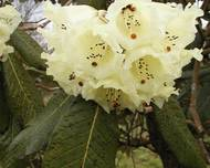 A photo of Rhododendron falconeri
