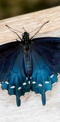 A photo of Pipevine Swallowtail
